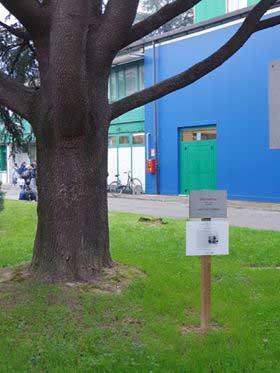 albero-dedicato-a-Gino-Bartali